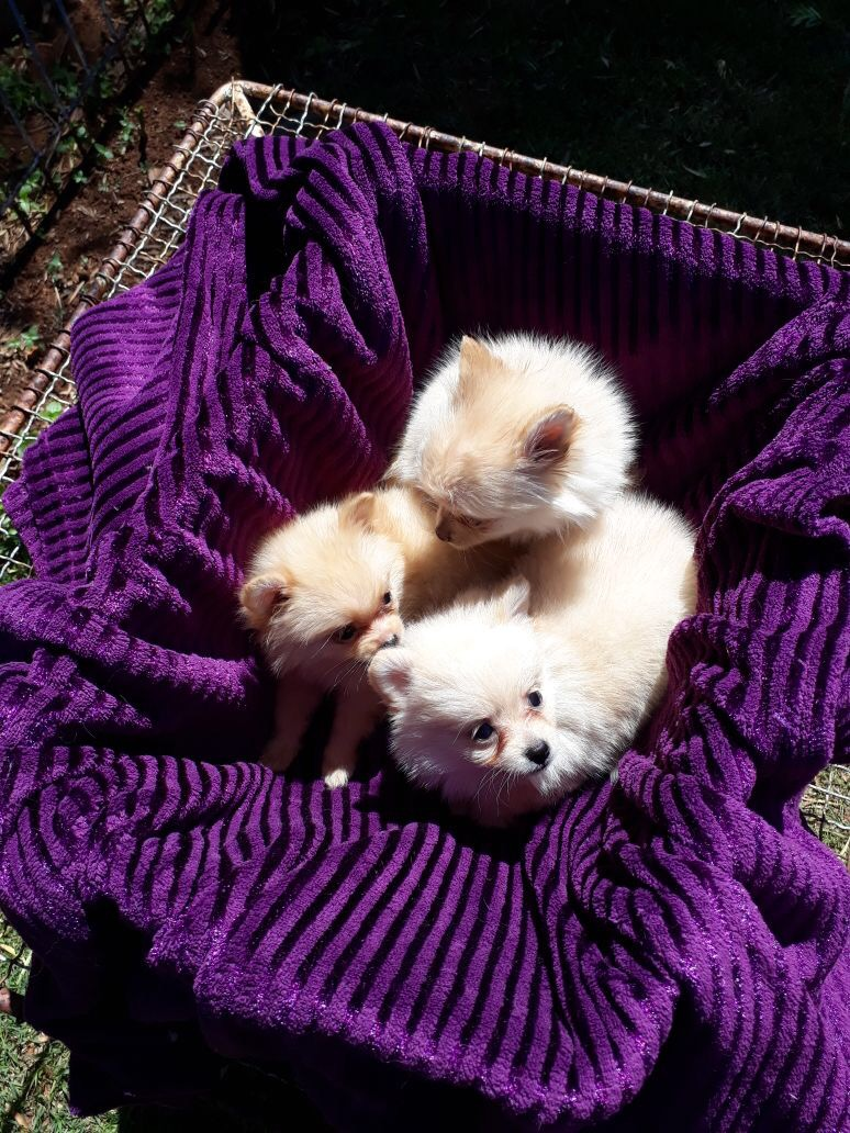 Miniature Toypom Puppies for sale