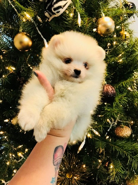 Pomeranian Puppies-9 weeks
