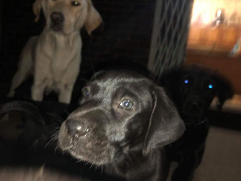 Purebred Black Labrador Puppies