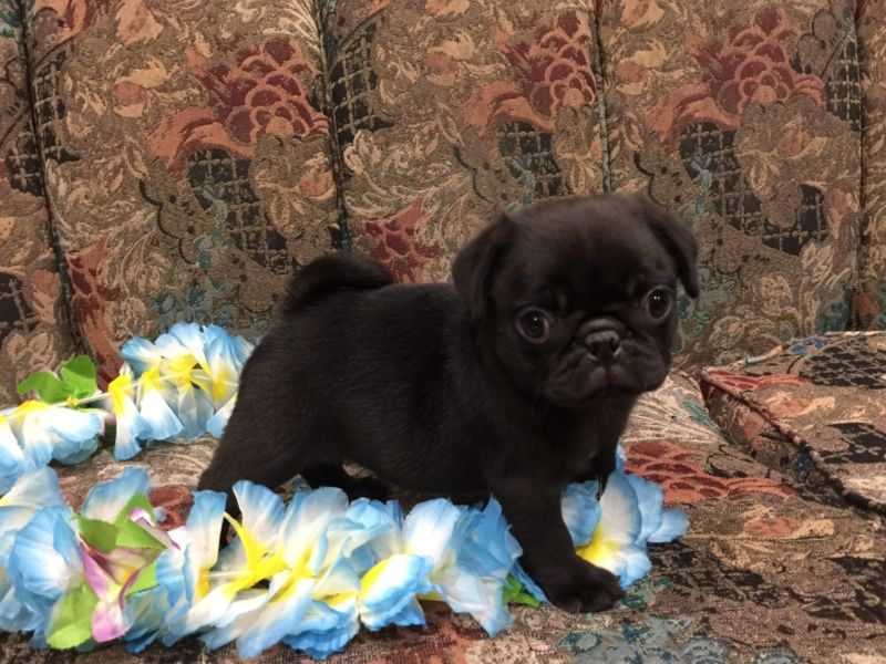 3 Beautiful Black And 2 Fawn Pug Puppies