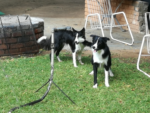 BORDER COLLIES PUPPIES R 1 500 For sale
