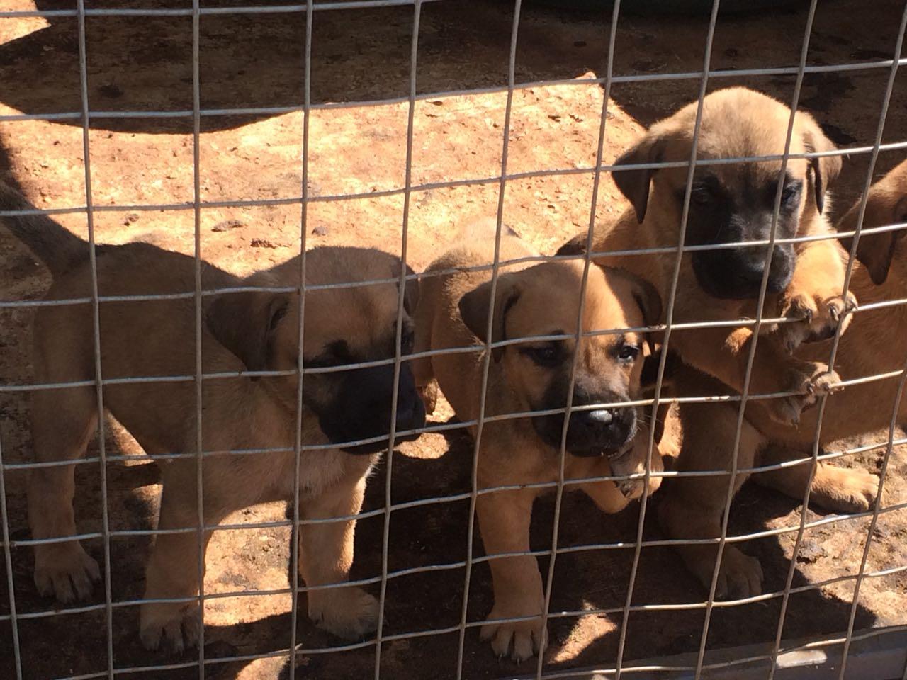 Rhodesian Ridgeback x German Shepherd puppies for sale