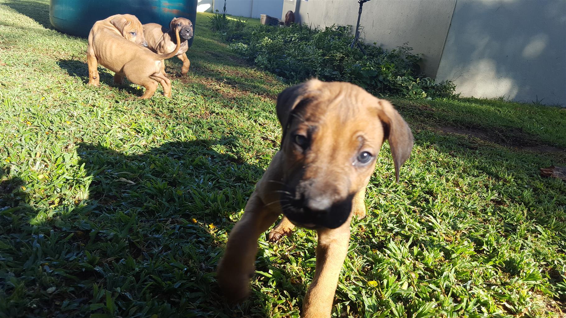 Rhodisian Ridgeback puppies