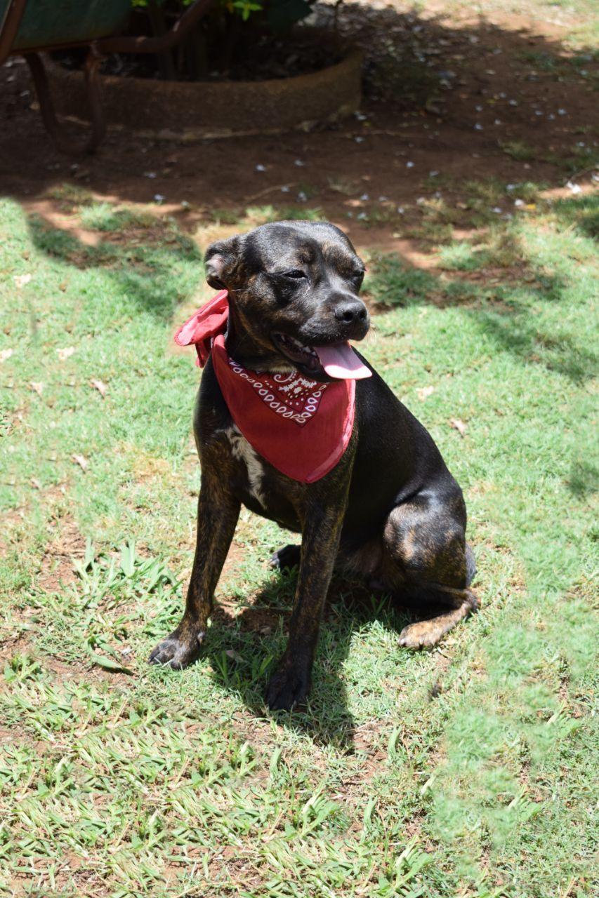 Boston cross Jack Russell puppy