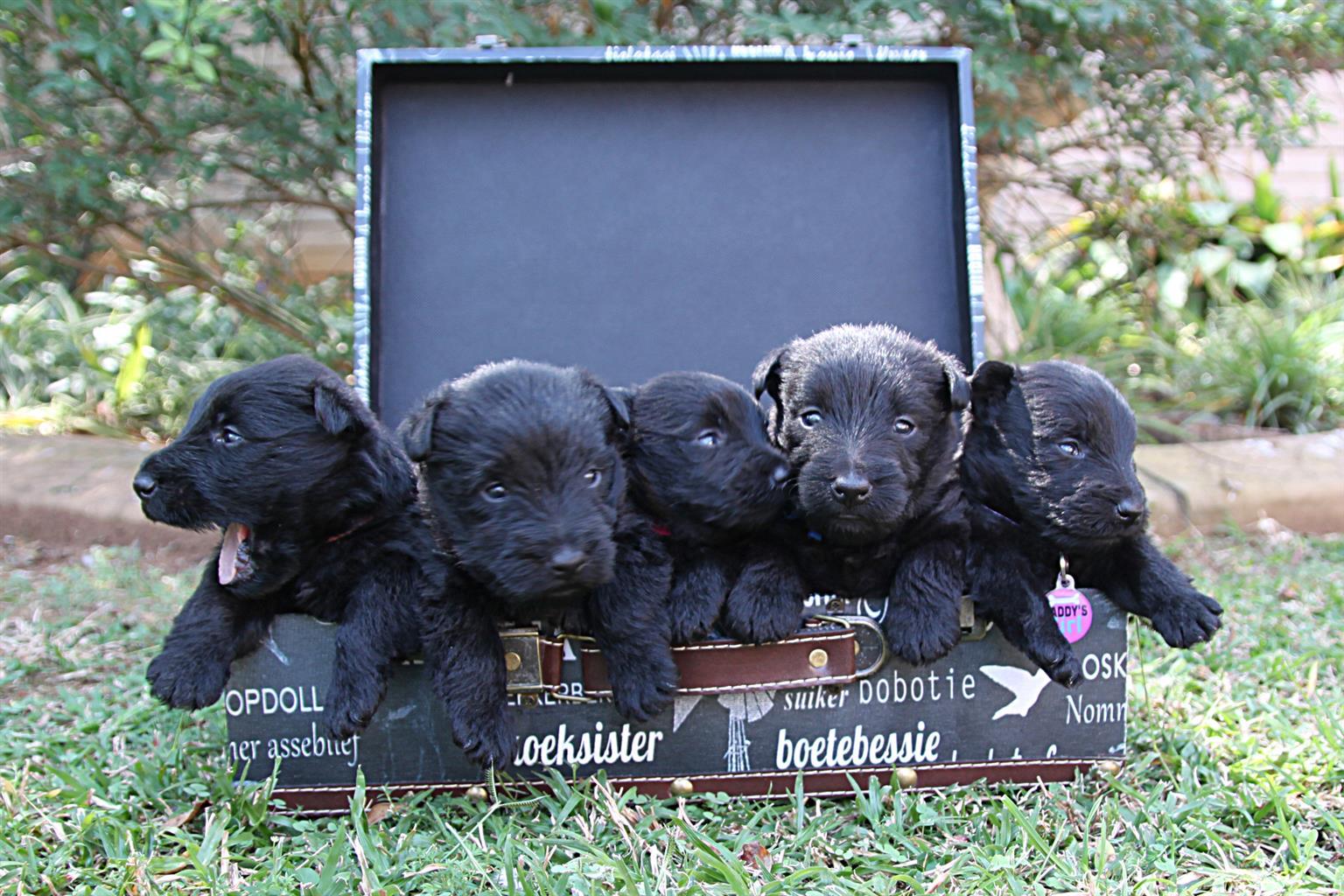 Scottish terrier babies