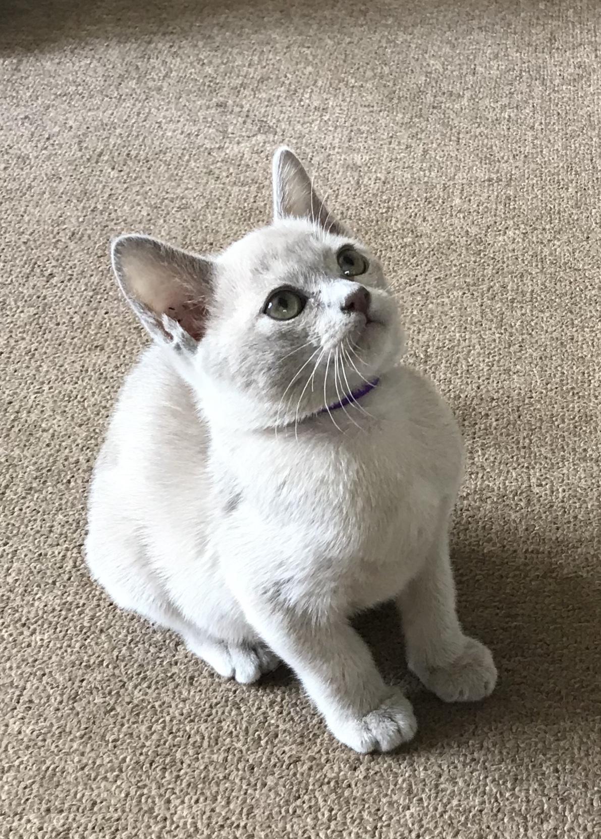 Adorable Burmese Kittens for Sale