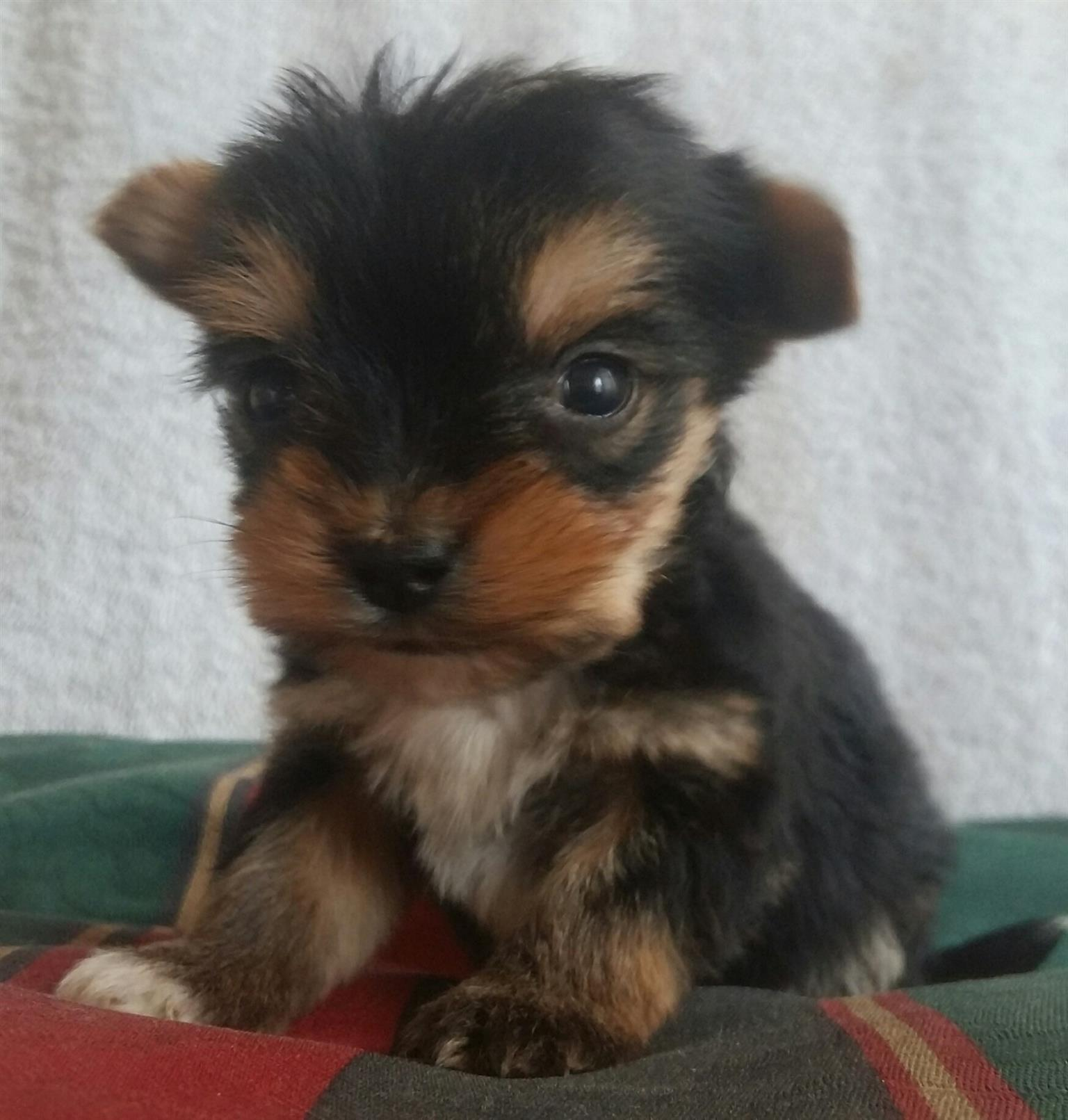 Yorkshire Terrier pocket size puppies