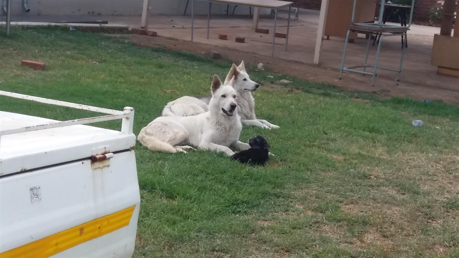 Huskey cross swiss shepard last Female