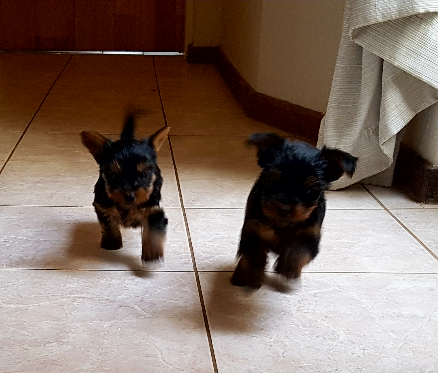Yorkshire Terrier 'Teacup' Puppies