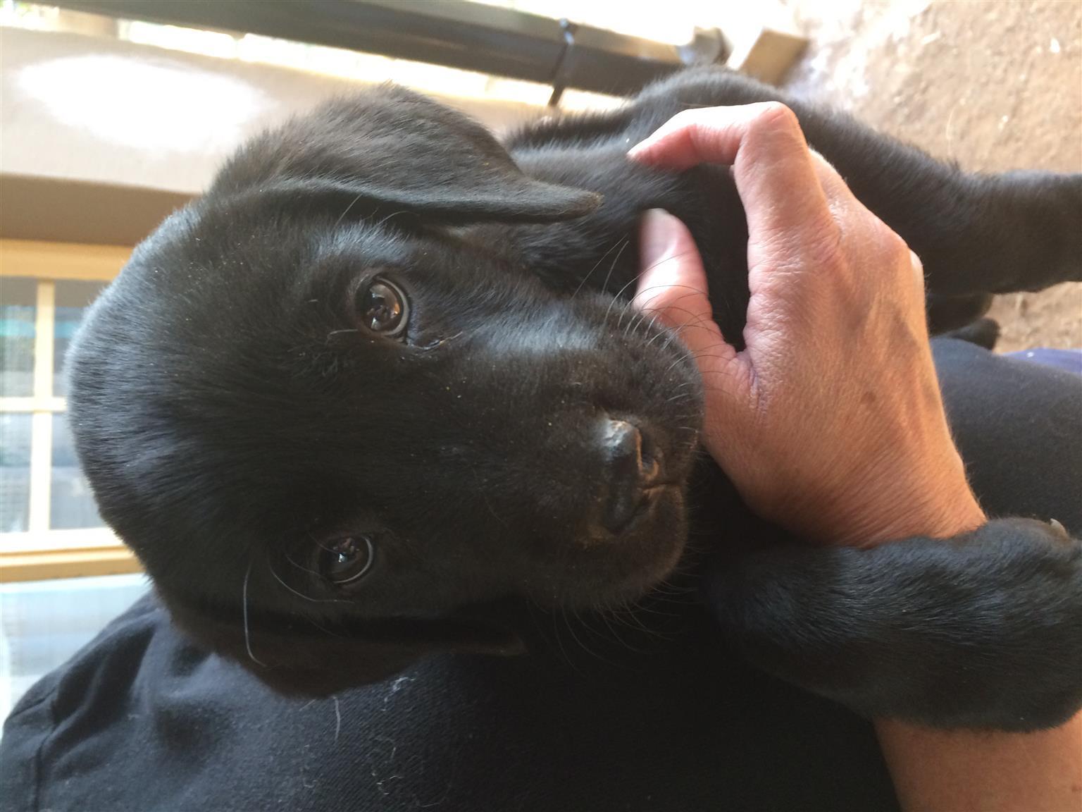 Black pure breed labrador puppies