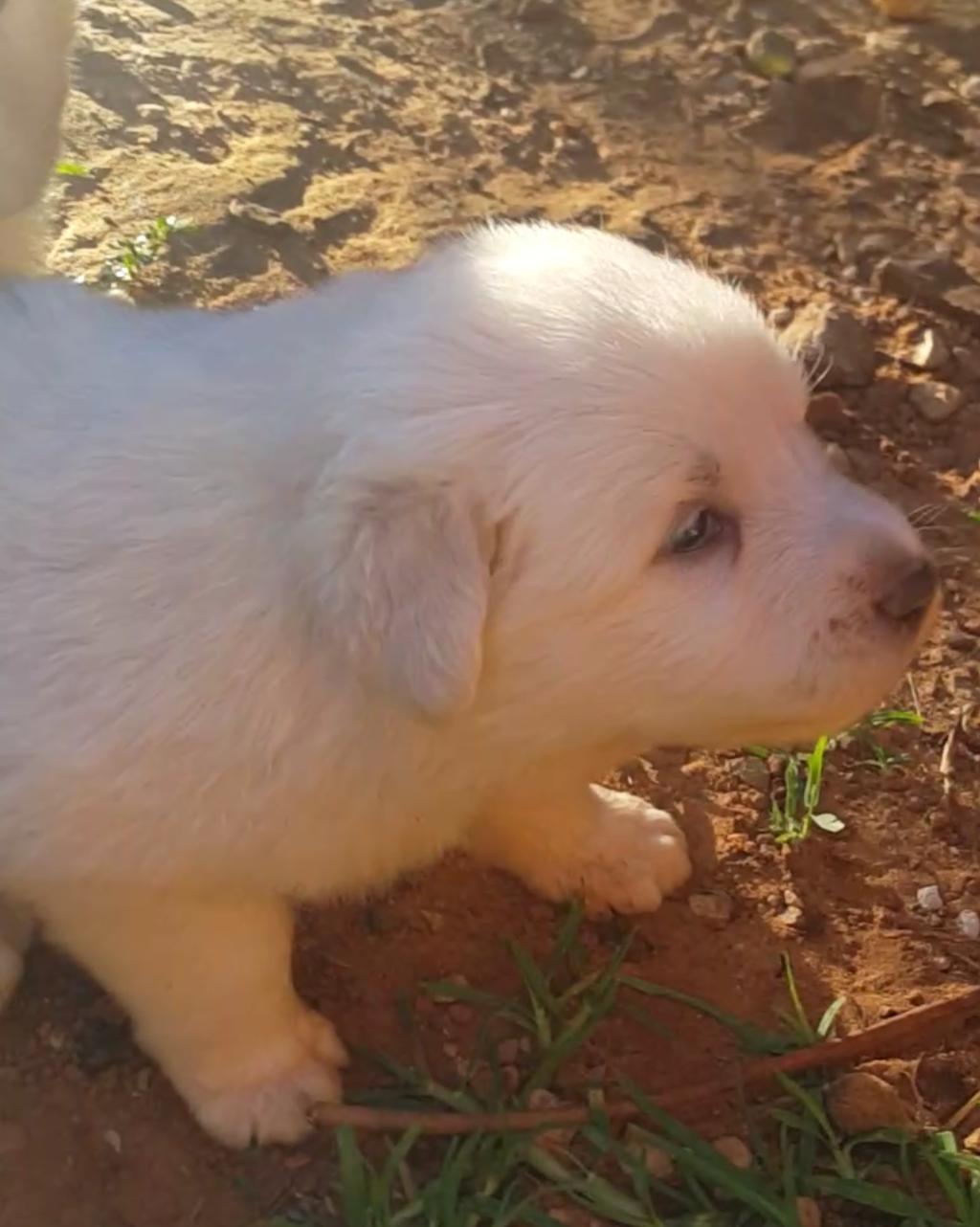 Great pyrenean puppies for sale