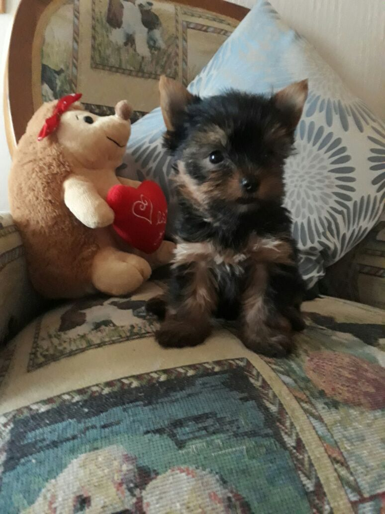 Traditional Yorkie Puppies