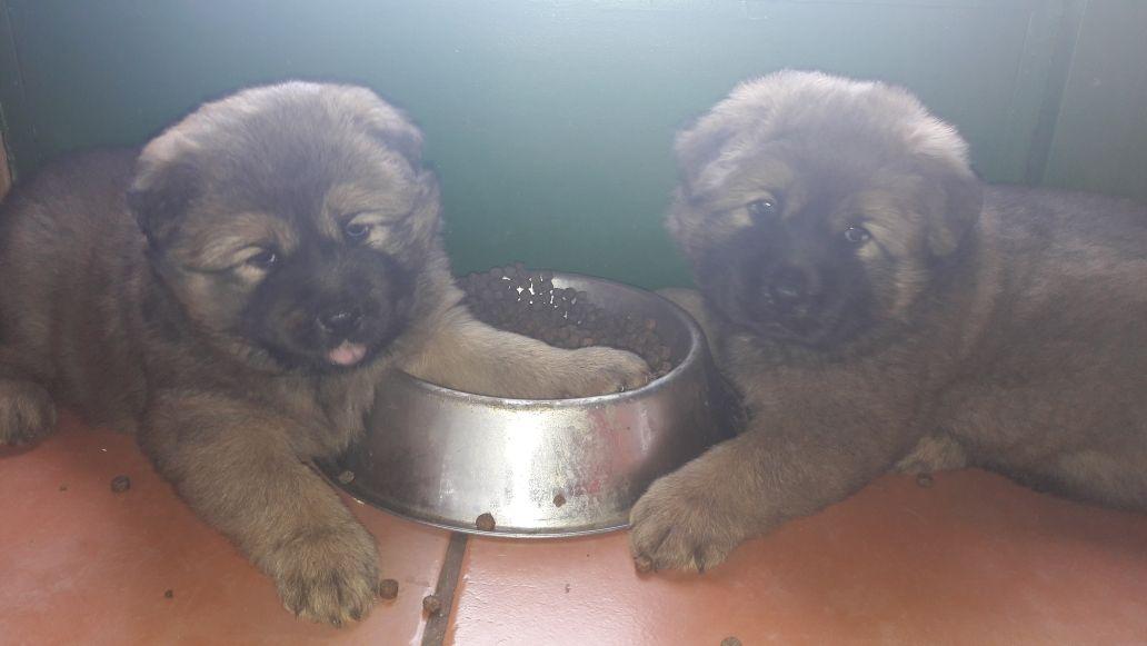 Chow/Border-Kollie Pups