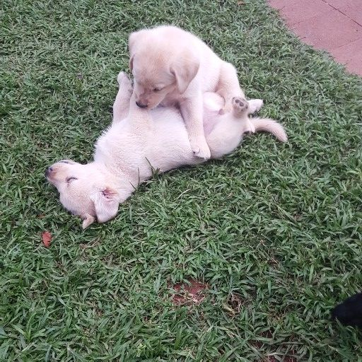 Labrador puppies looking for a forever home