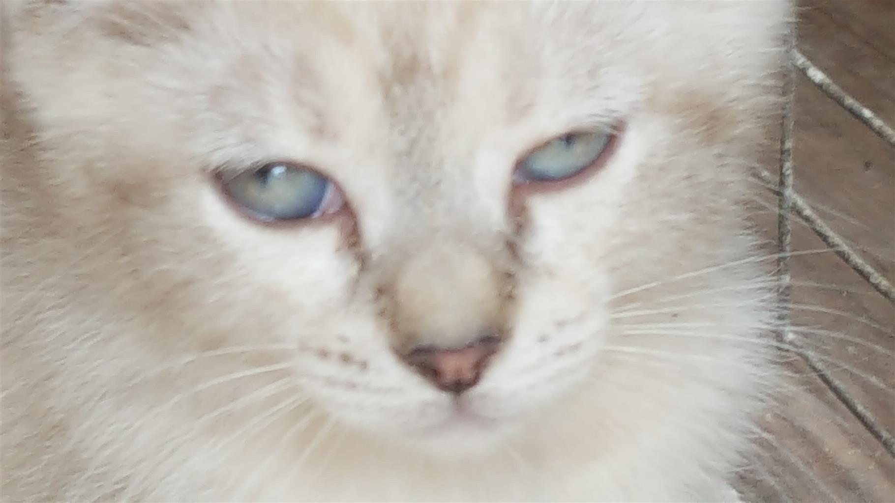 Blue Seal point Siamese Kitten for Sale.