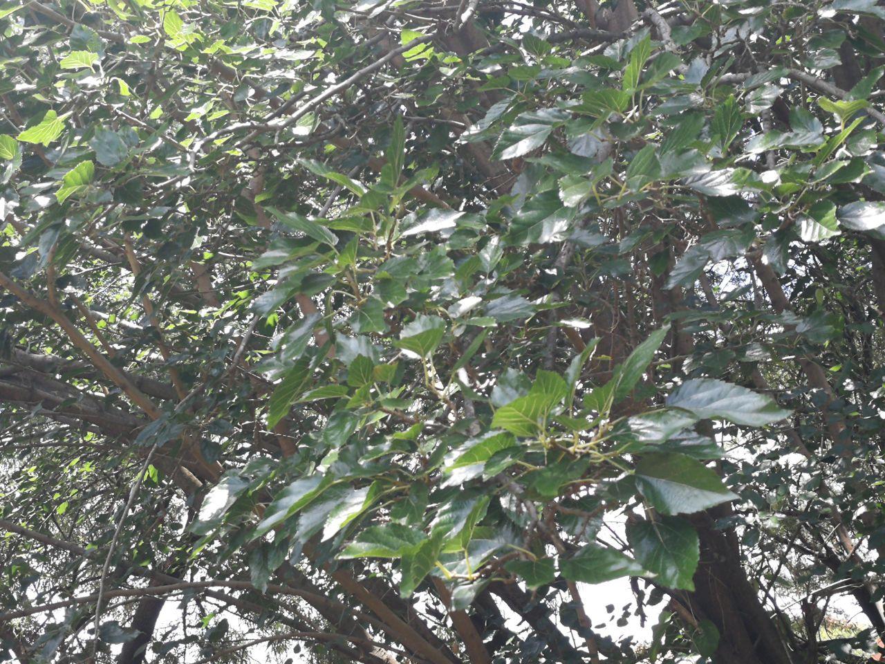 Silkworm Food , Mulberry Leaves