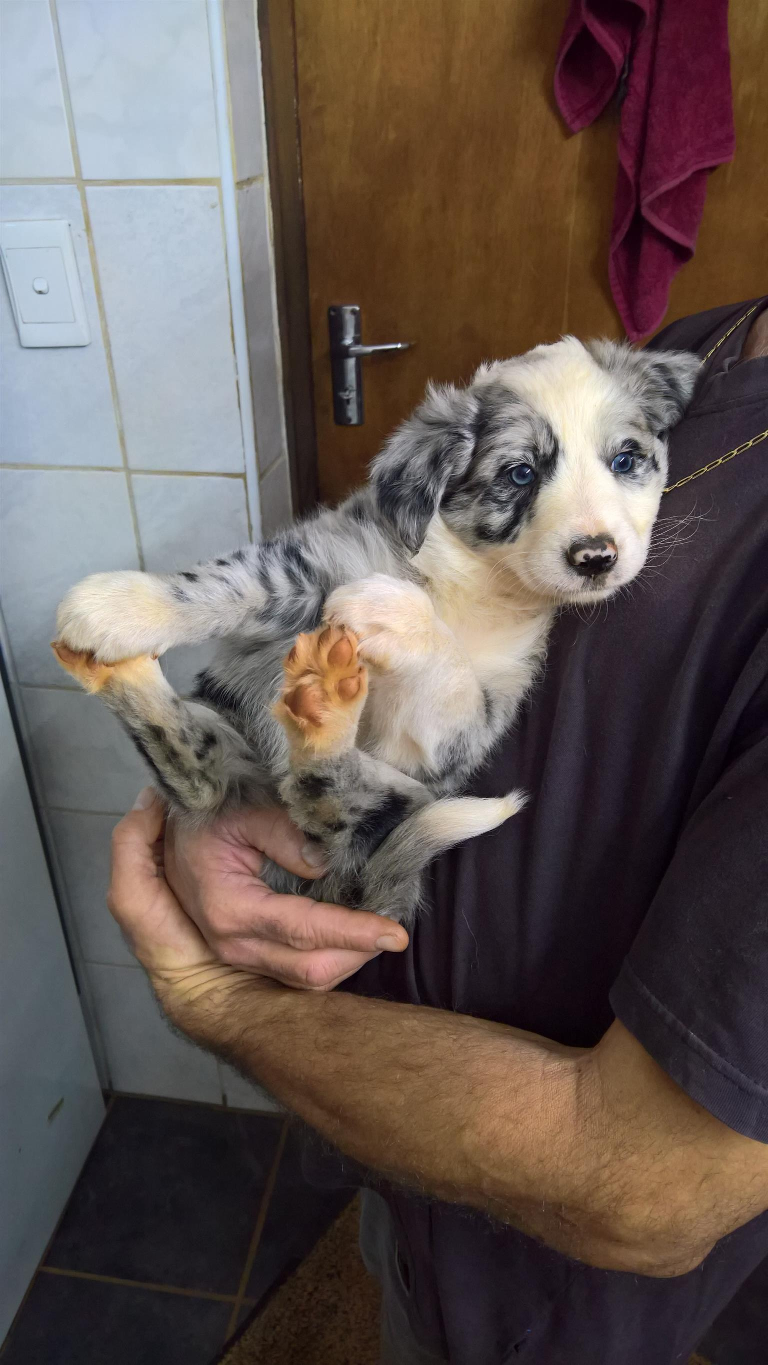 A Cross Bread of Border Collie & Australian Heeler Puppies
