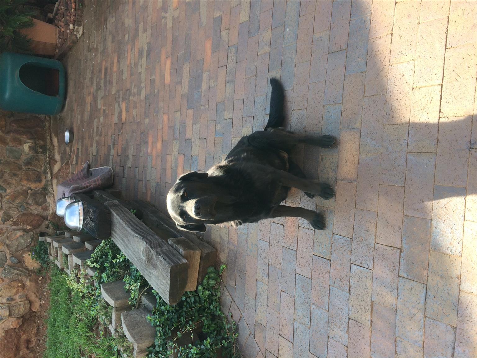 Black Labrador 3 years old.