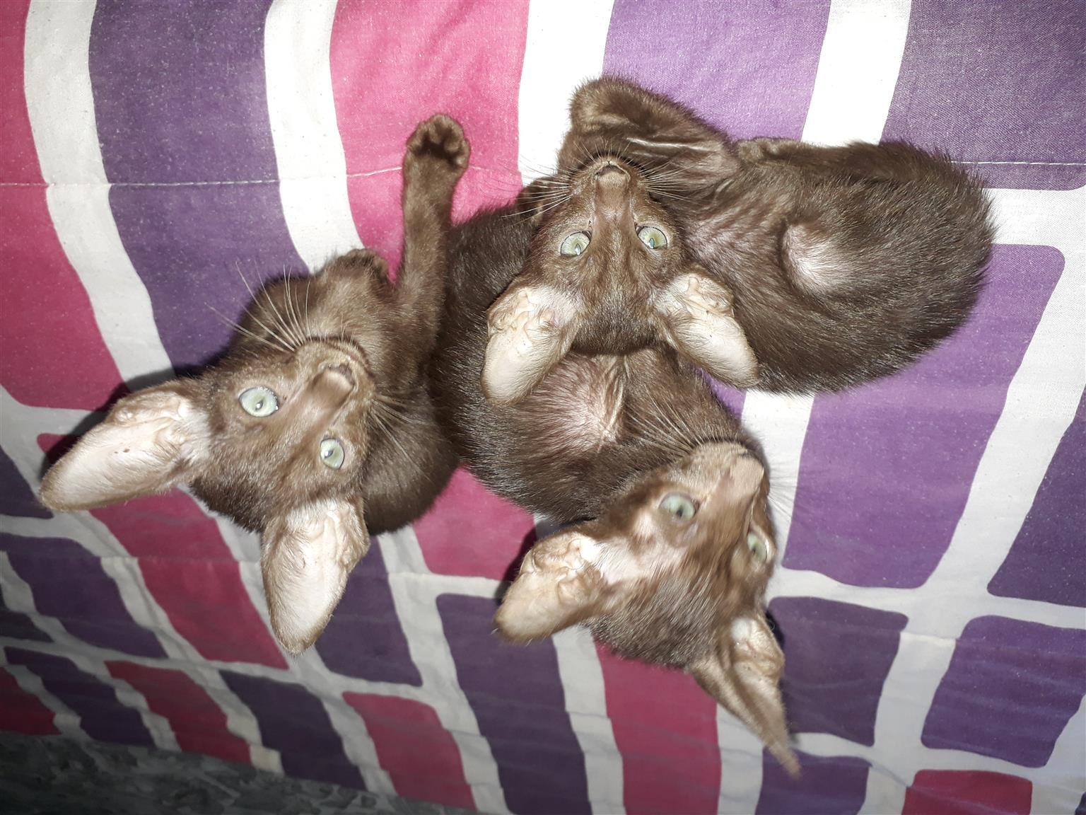 Havana Brown Siamese kittens