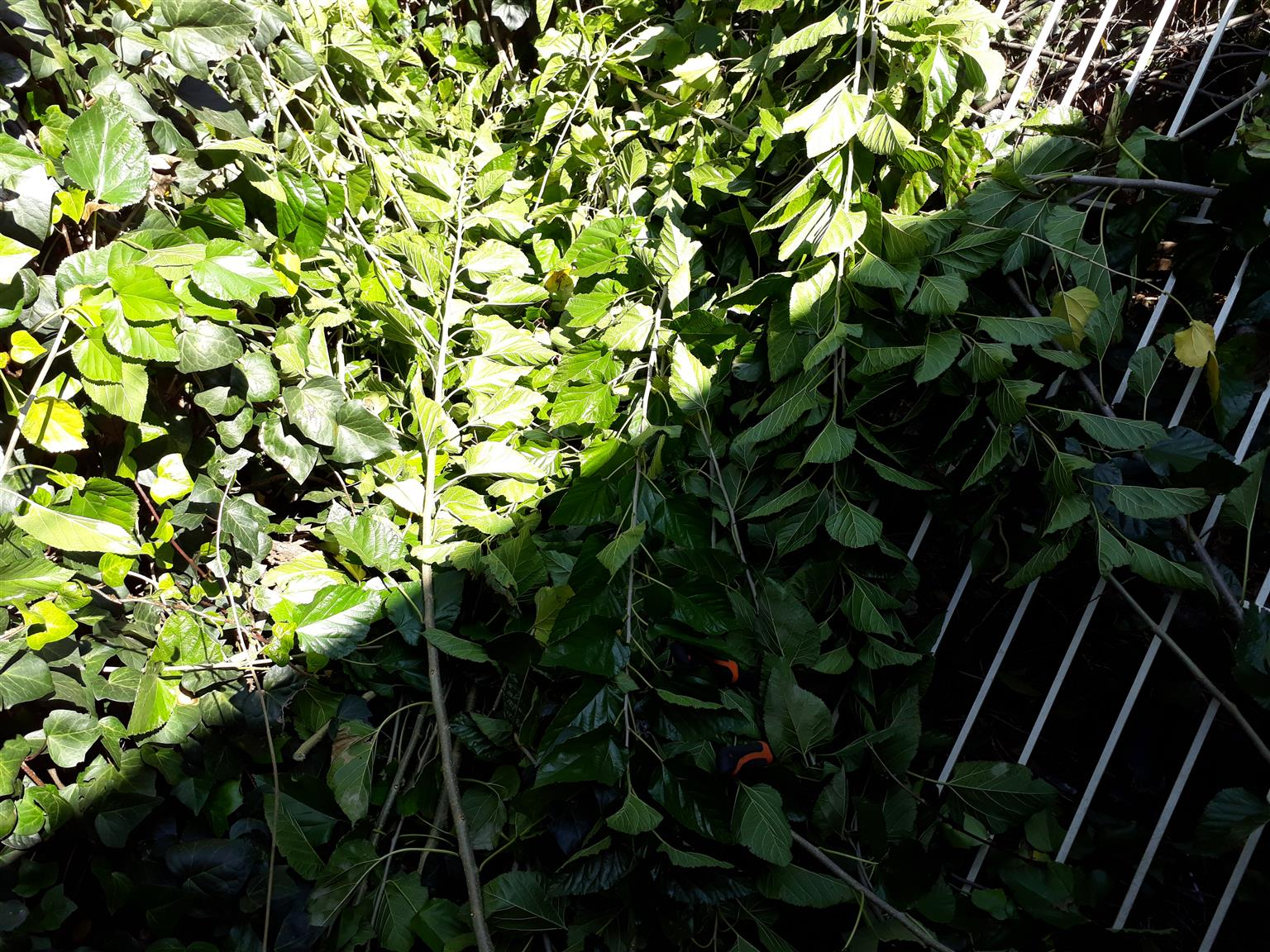 Mulberry leaves for sale