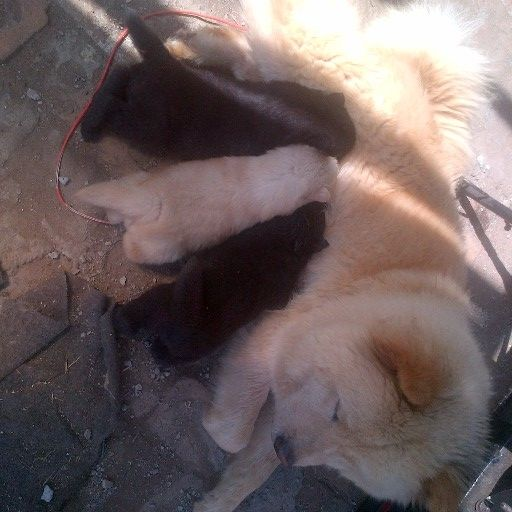 Chow Chow puppies cream and black