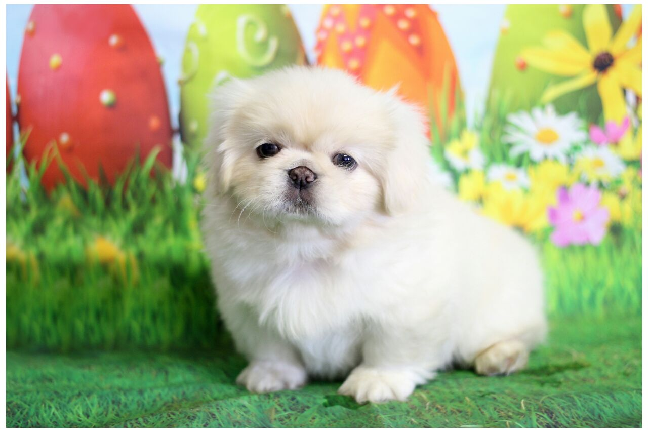 Canine SA registered Purebred Pekingese Puppies