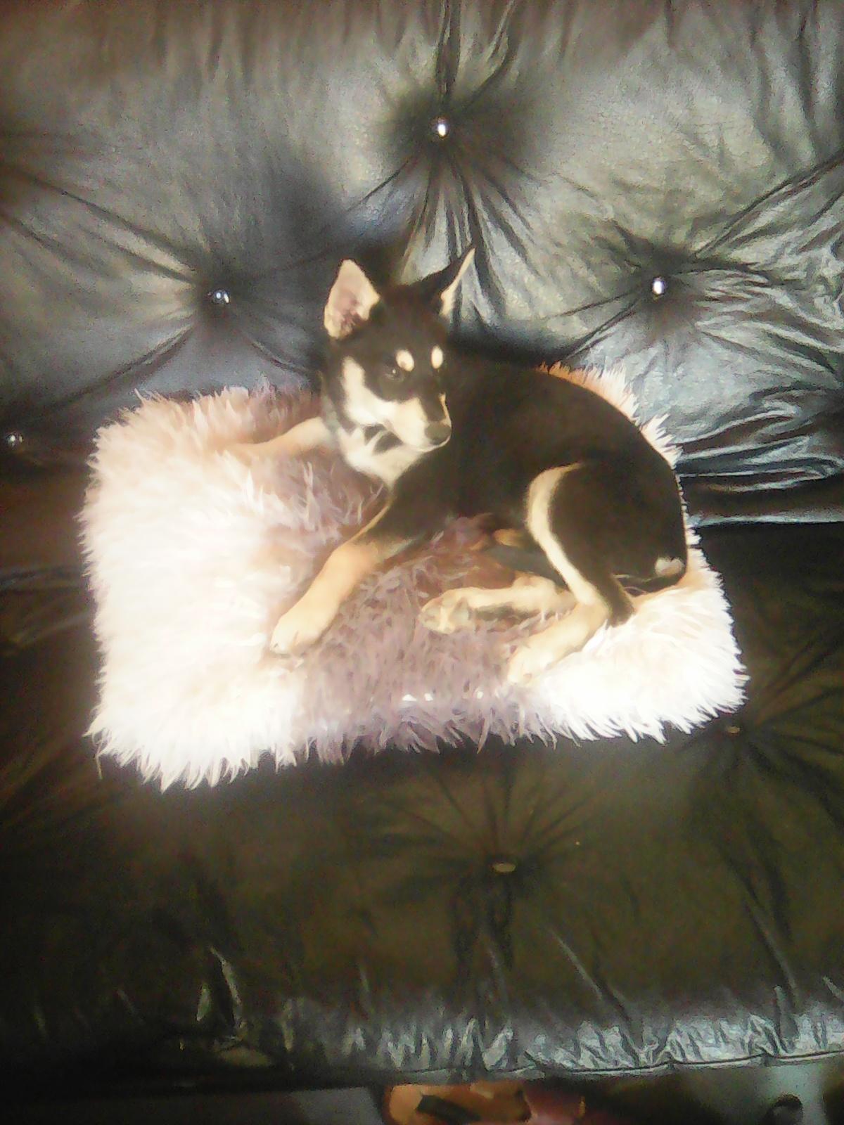 Adorable Husky Spitz 12 weeks