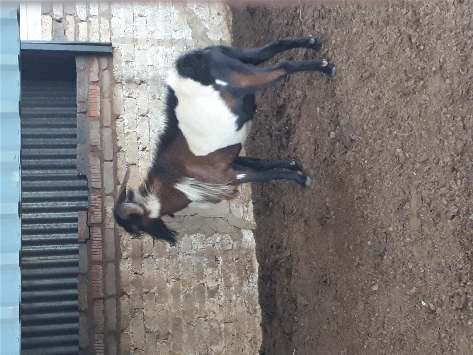 Male zulu goat