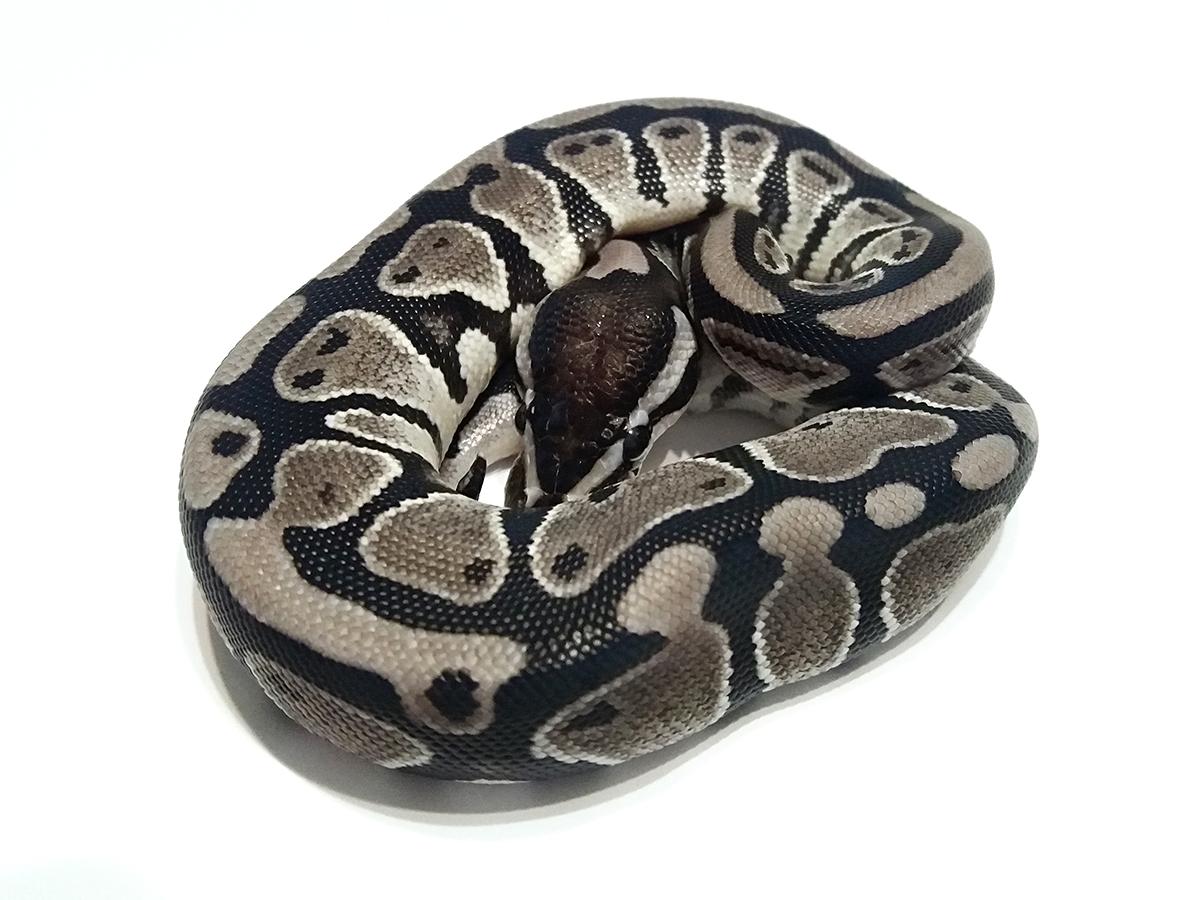 VPI Axanthic Ball Python Female | Junk Mail