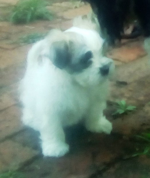 MALTESE POODLE PUPS FOR SALE!!!