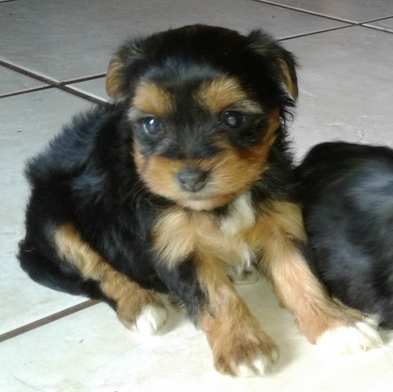Yorkshire Terrier miniature male puppy