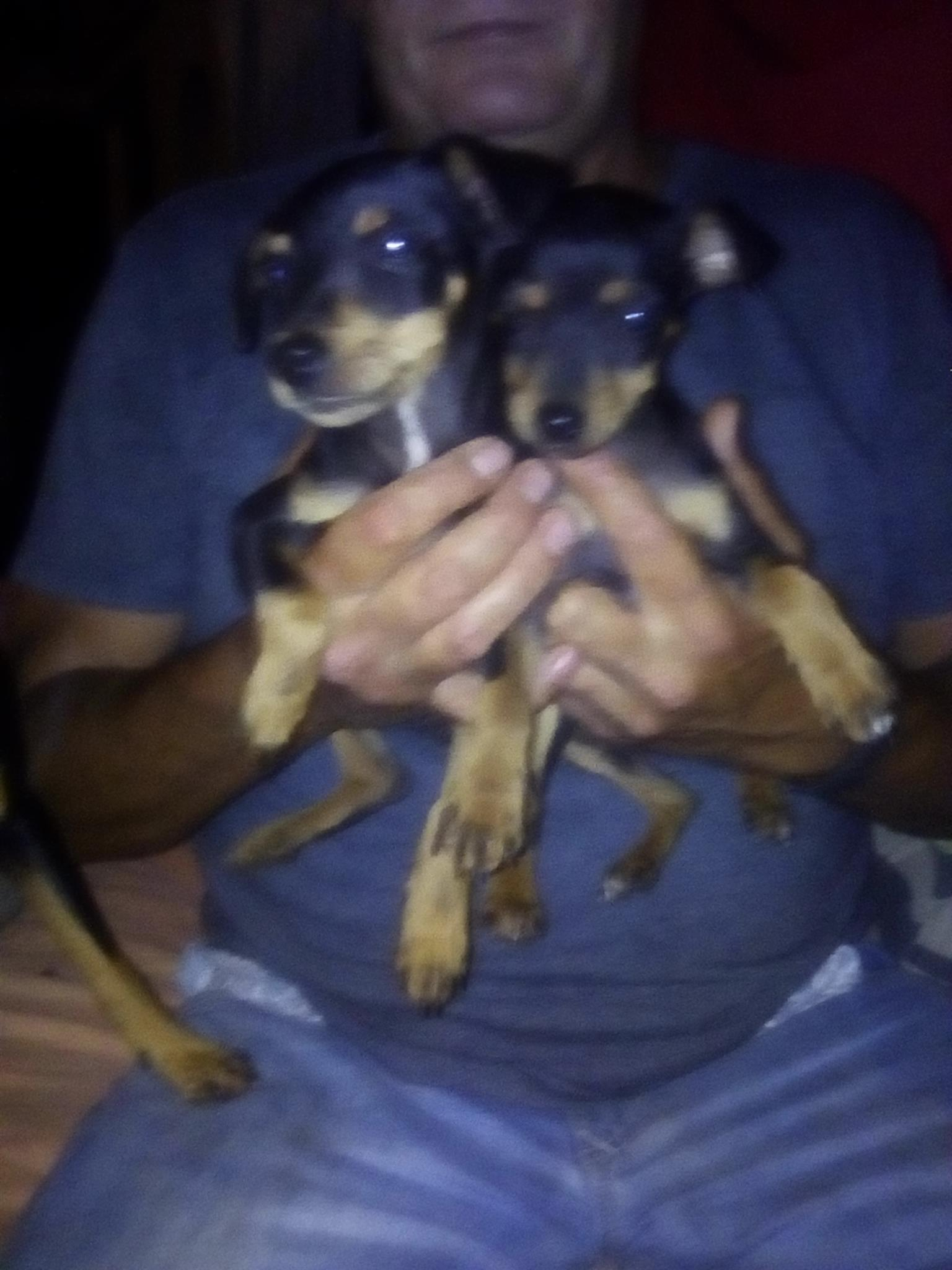 Doberman pinchers for sale