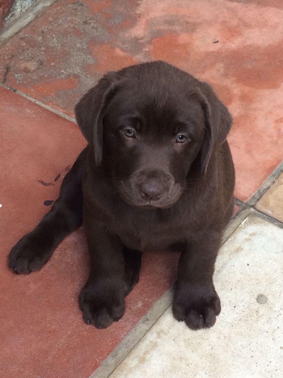 Gorgeous Chocolate Labrador Puppies