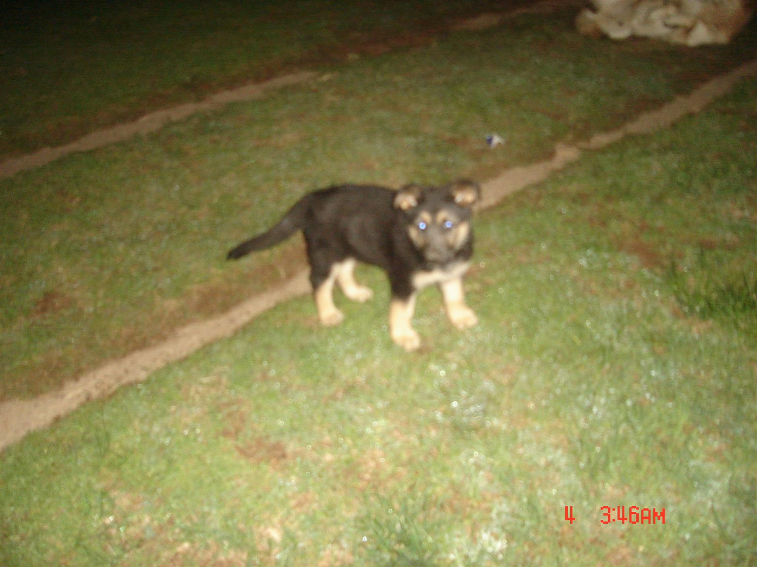 German Shepherd female puppy.