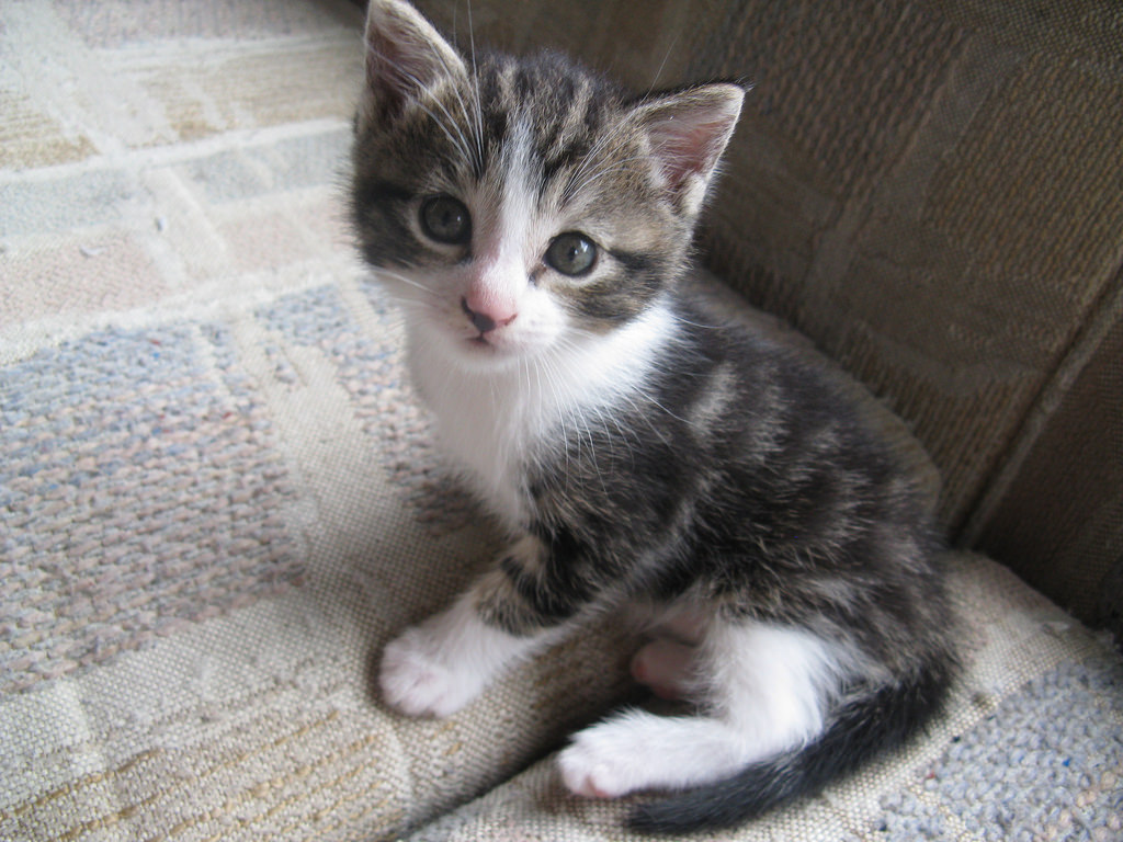Tabby cross kittens for sale - East Rand