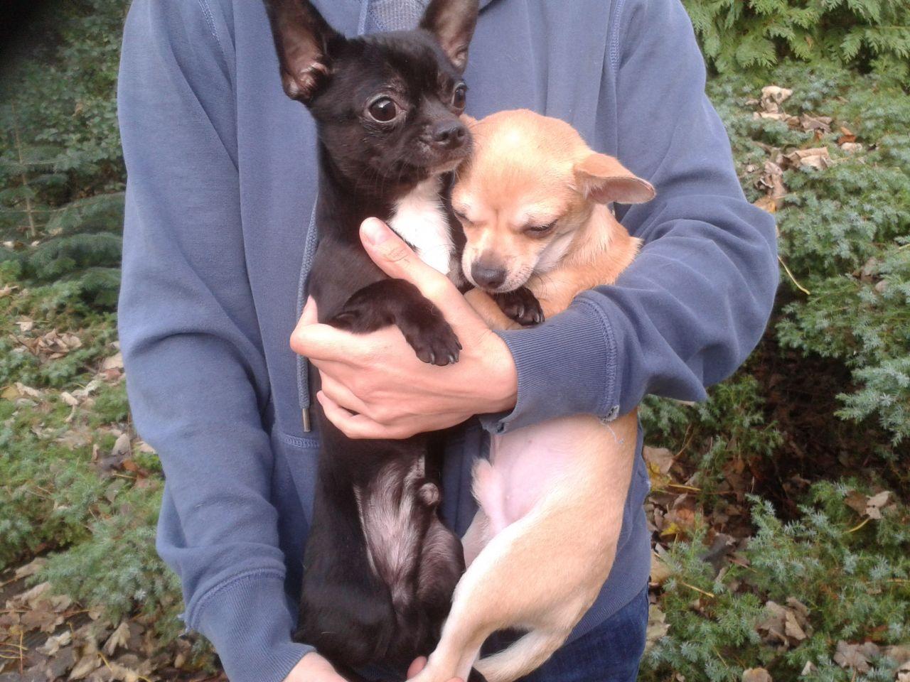 Purebred smooth coat chihuahua Puppies