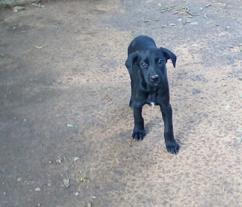 Labradane puppies (Labrador x Great dane)
