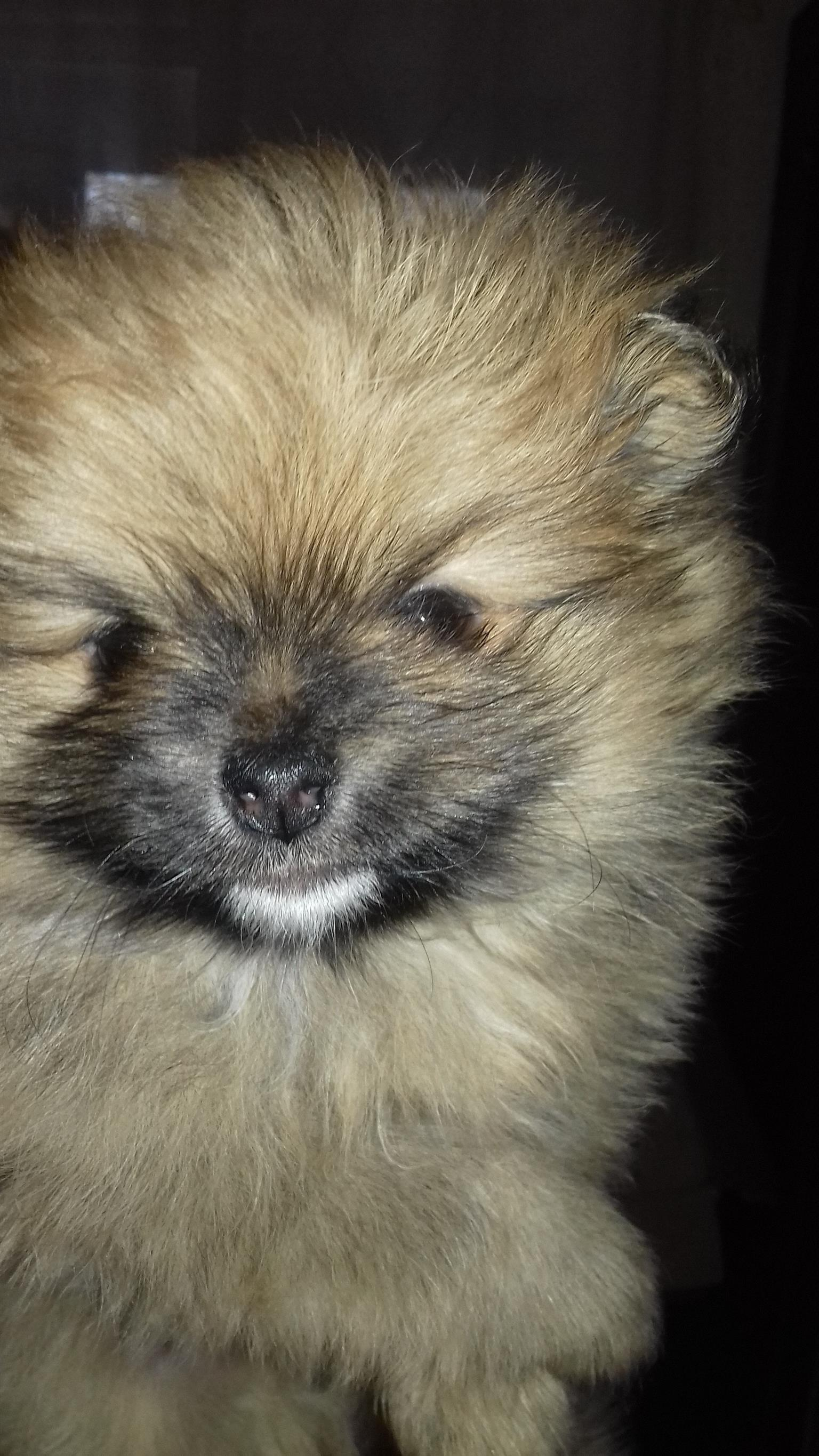 TOY POM PUPPY FOR SALE MALE (MINIATURE)