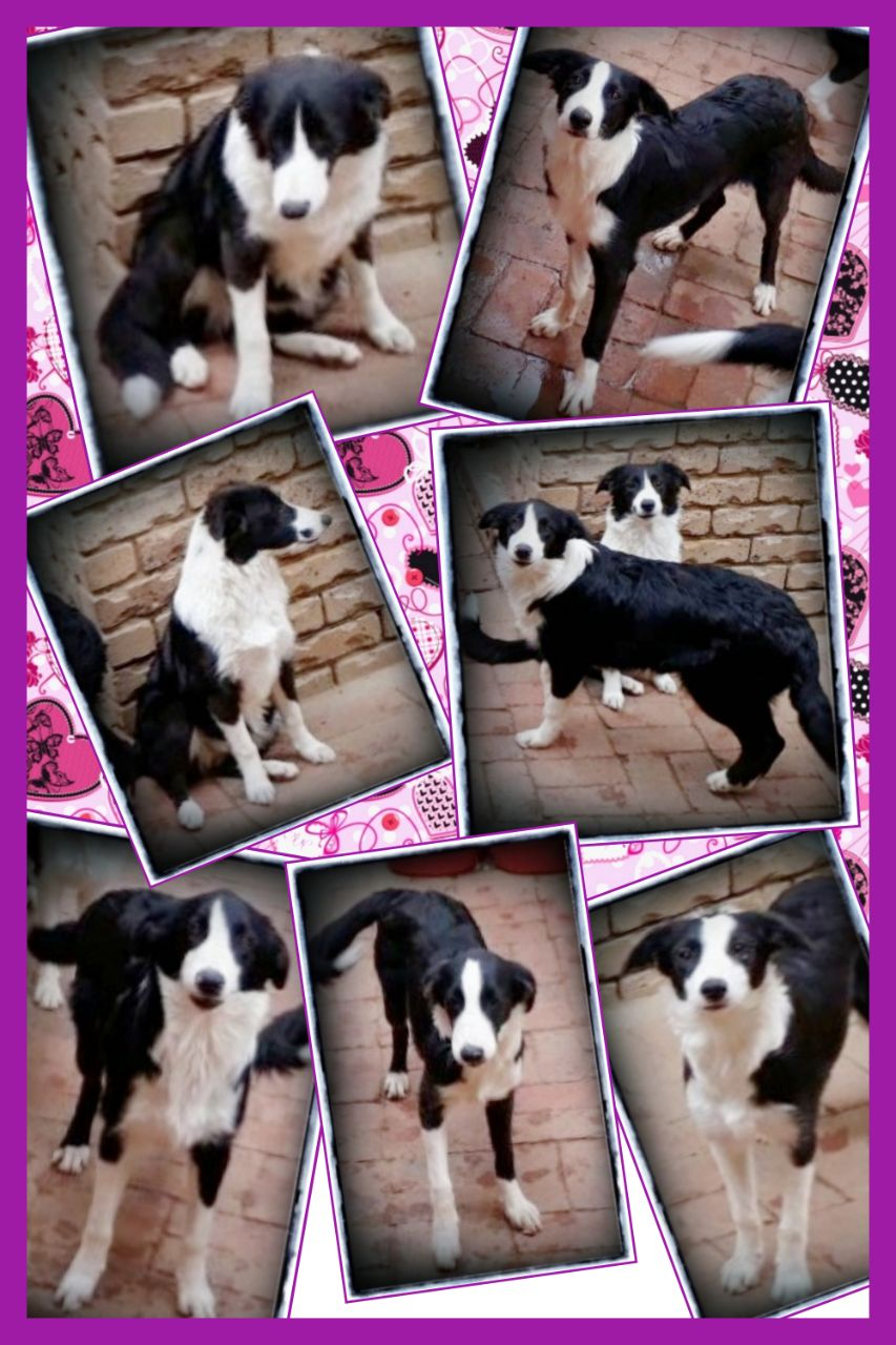 Pure Bred Border Collies/Skaaphondjies for urgent sale!