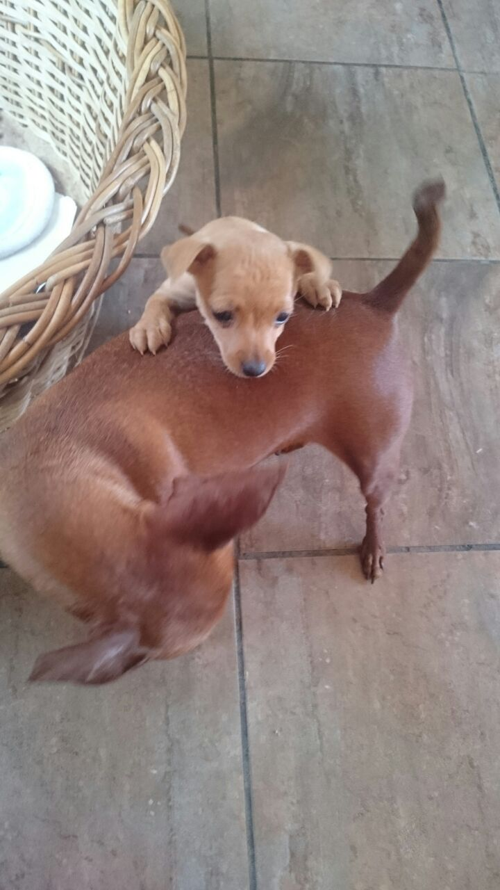 Purebred Miniature Pinscher puppies for sale
