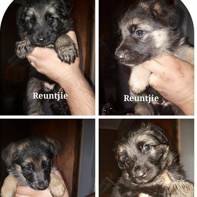 German Shephard Puppys