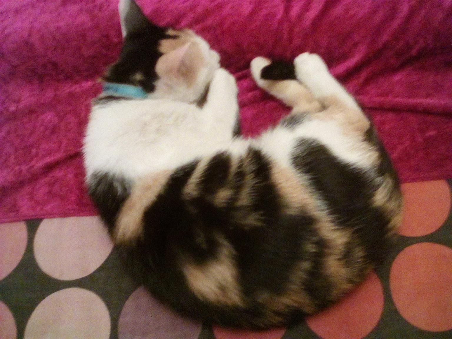 Calico female Cat