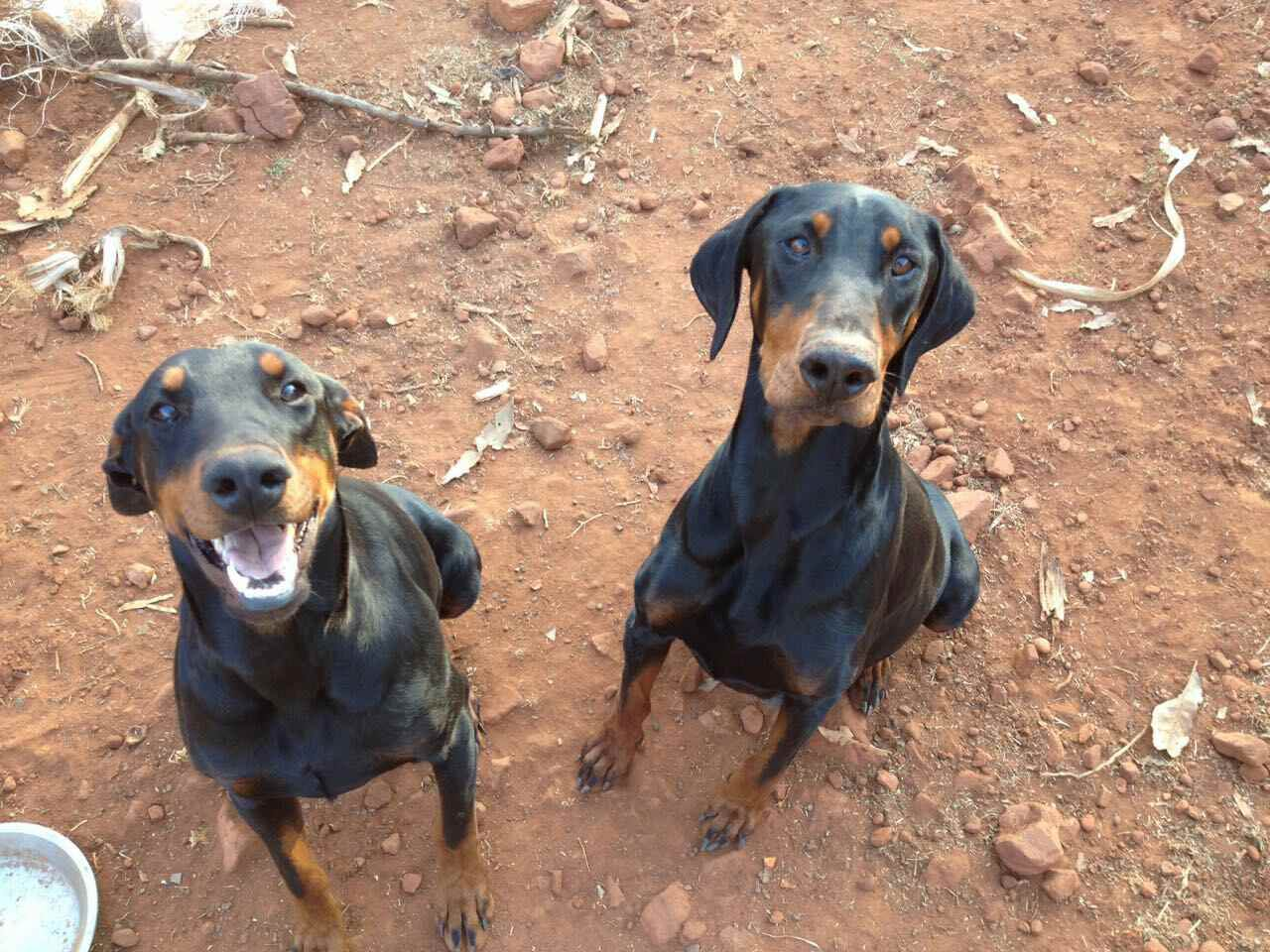 Doberman puppies pure breed for sale