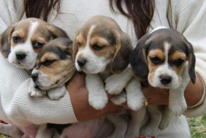 Registered Tri-colour Beagle puppies for sale