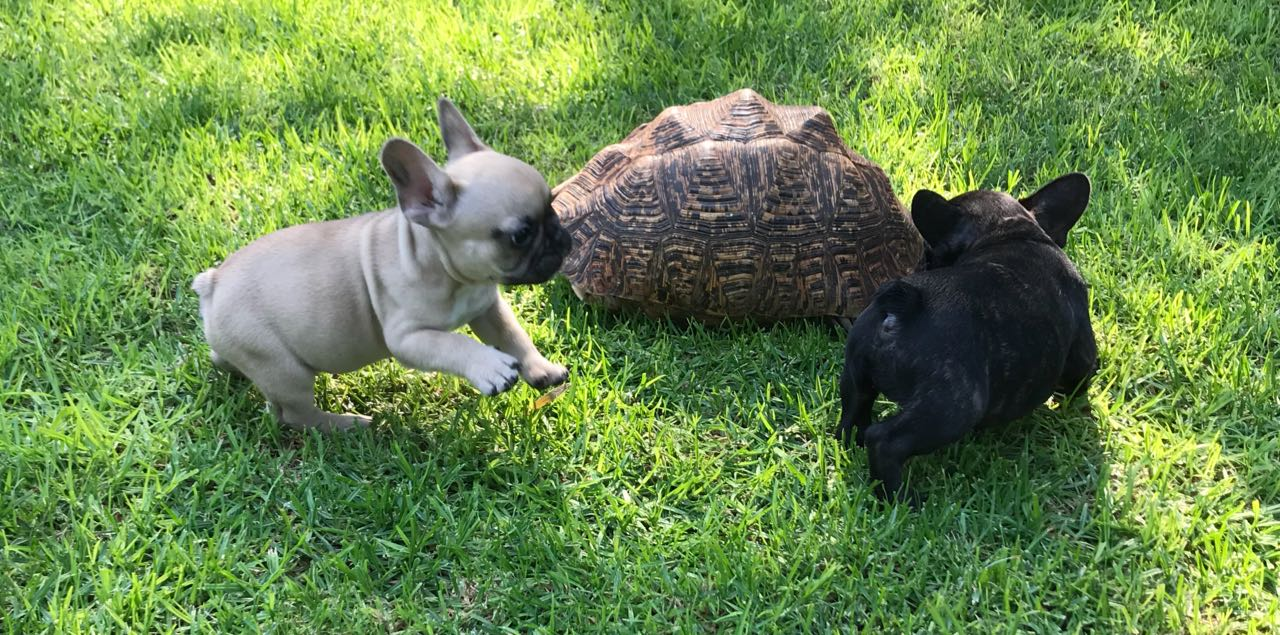 Gorgeous KUSA Reg French Bulldog Males available and ready to go at 8 weeks.