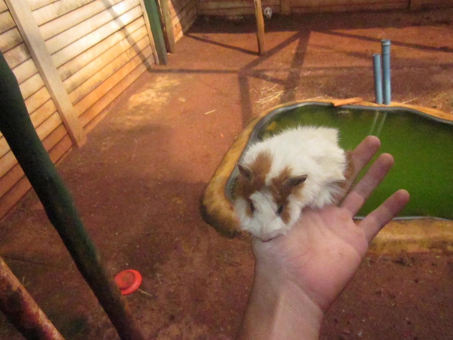 2small Guinea pigs for sale R80 each
