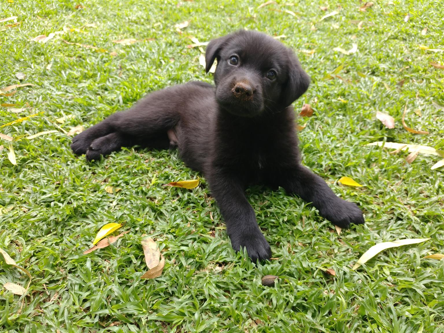 Lovely German Shepherd X Labrador puppies for sale!