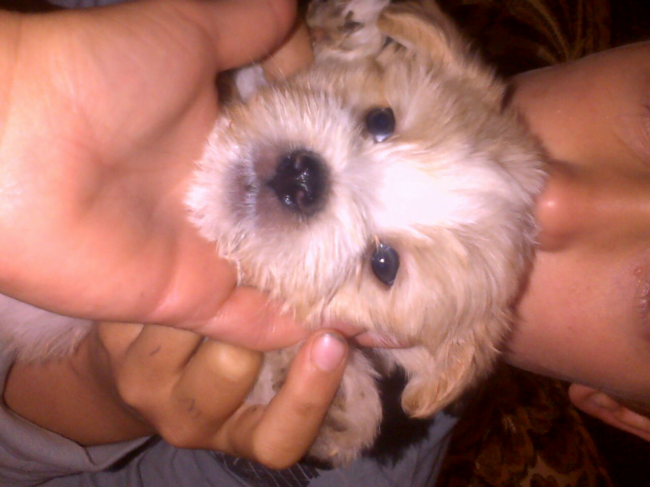 Maltese puppies for sale + starter kit