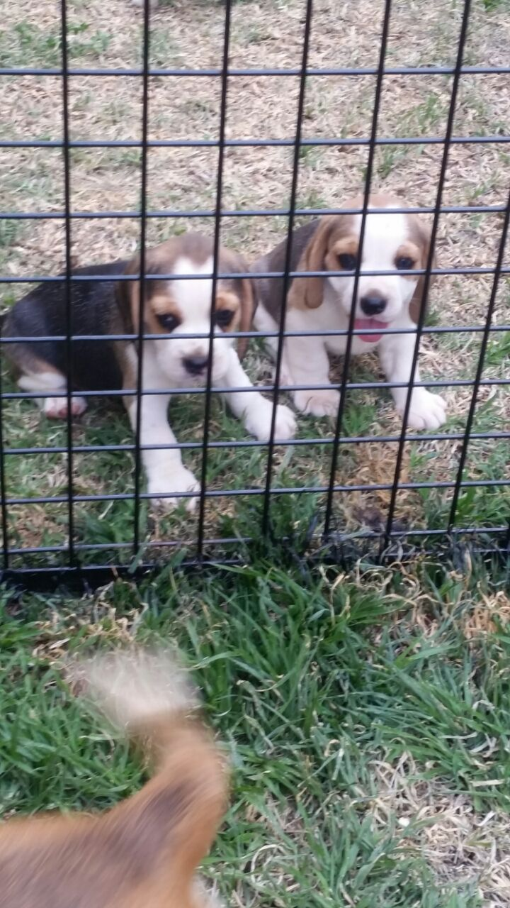 Beautiful 2x male puppies born 10 December 2017