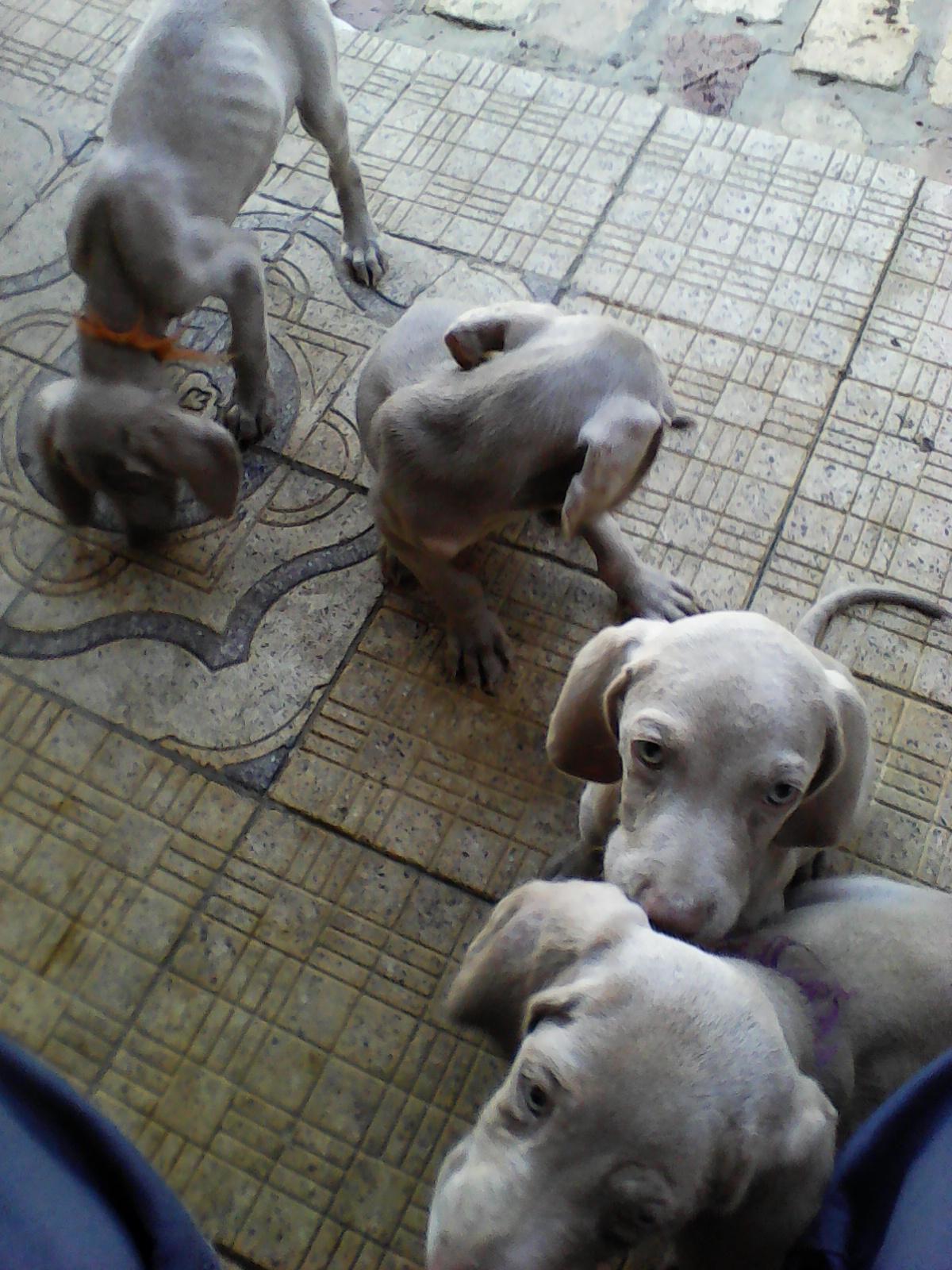 Weimaraner's puppies